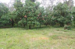 mango-land-in-kom-pong-speur-for-sale-1